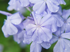 """Plumbago auriculata"" purple flower close up (focus flower of center imaged)"